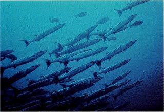 School of Fish Image