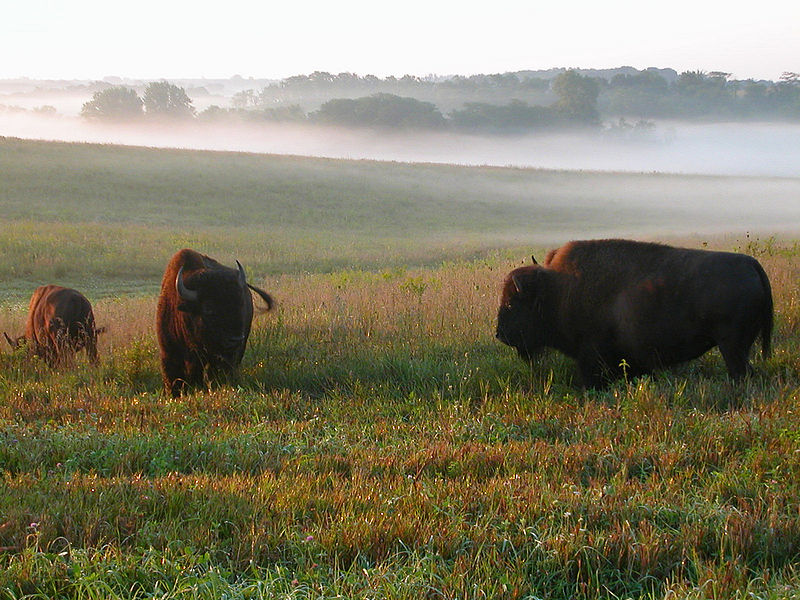 Three bison in prairie grass. Mist and trees are in the background.