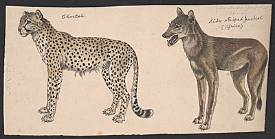 Cheetah, and Side-striped Jackal, between 1895 and 1974. Benson Bond Moore papers, Archives of American Art, Smithsonian Institution.