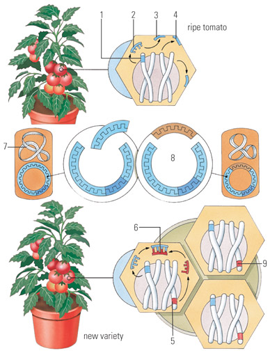 diagram of tomato plant DNA