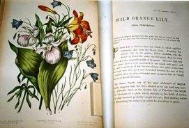 "Botanical illustration and text from ""Canadian Wild Flowers"" by Catherine Parr Trail"