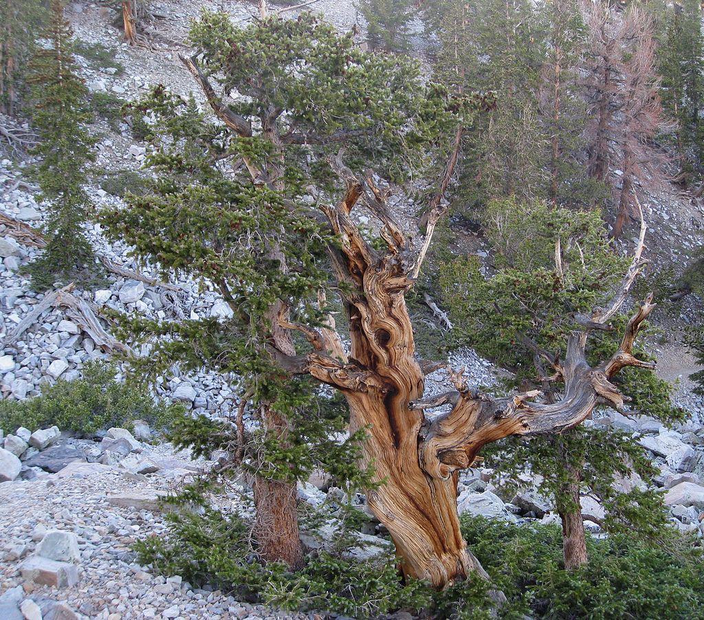 The Bristlecone Pine, Pinus longaeva