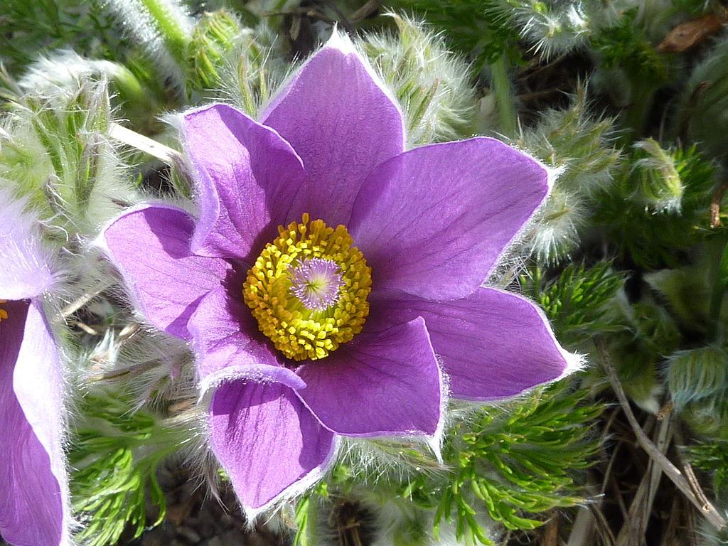 The American Pasque Flower, Pulsatilla hirsutissima