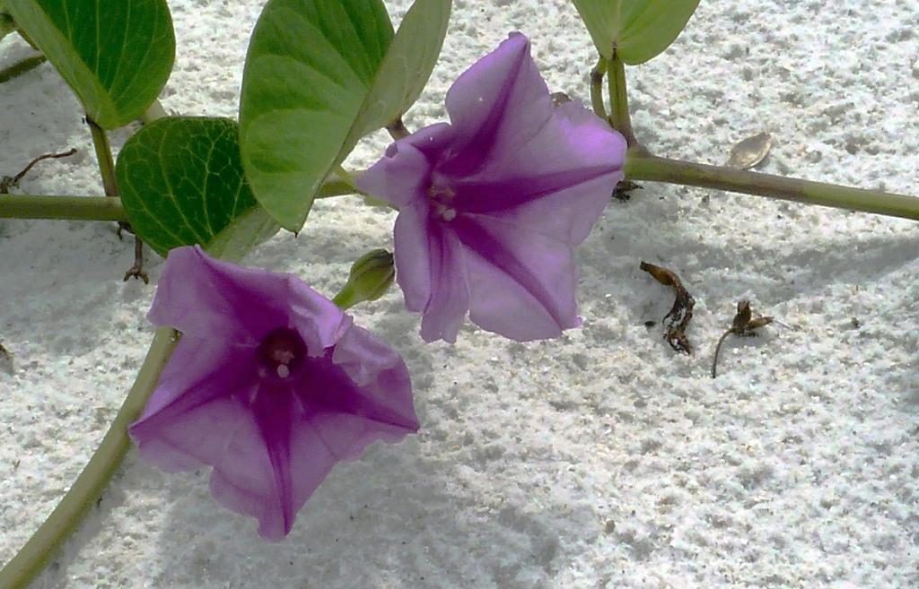 Florida lady's nightcap, Bonamia grandiflora