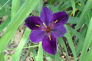The Louisiana Iris
