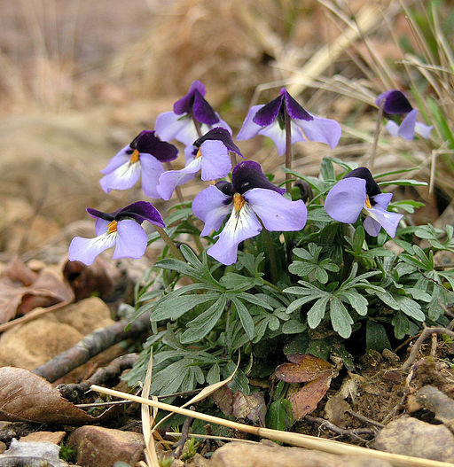 Birdfoot violet, Viola pedata