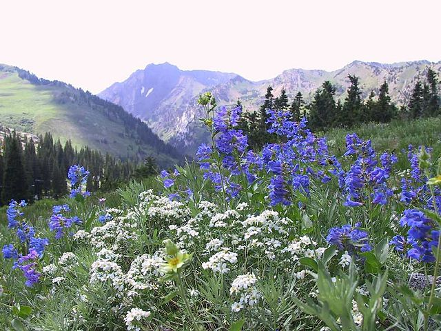 Wildflower display of blue Wasatch Penstemon, Penstemon cyananthus and White Nuttall's, lianthus, Linanthus nuttalli