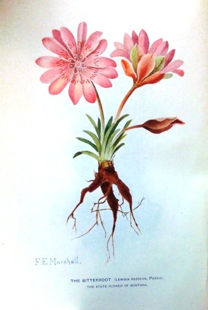 botanical illustration of the Bitterroot