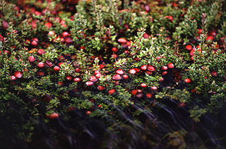 A Cranberry Plant