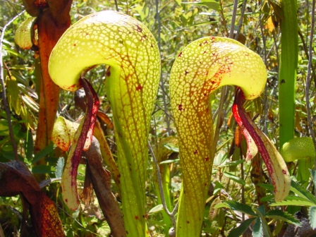 California Pitcher Plant, the Cobra Lily, Darlingtonia californica
