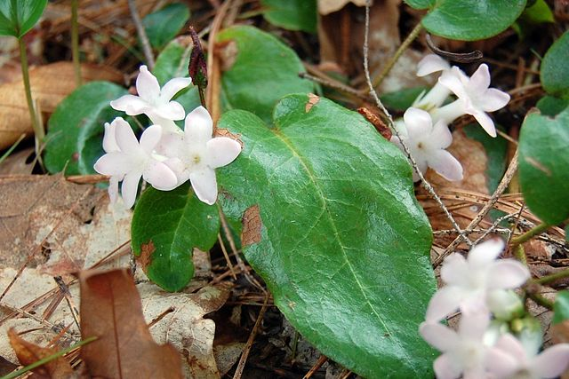 The Mayflower (or trailing arbutus), Epigaea repens