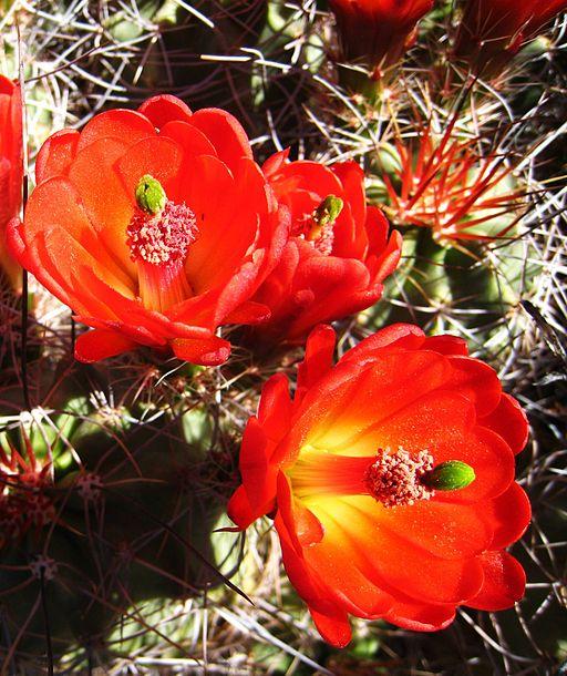 Hedgehog Cactus, Echinocereus triglochidiatus