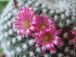 The Pincushion cactus, Mammillaria standleyi, courtesy of Wikimedia Commons/musscacti