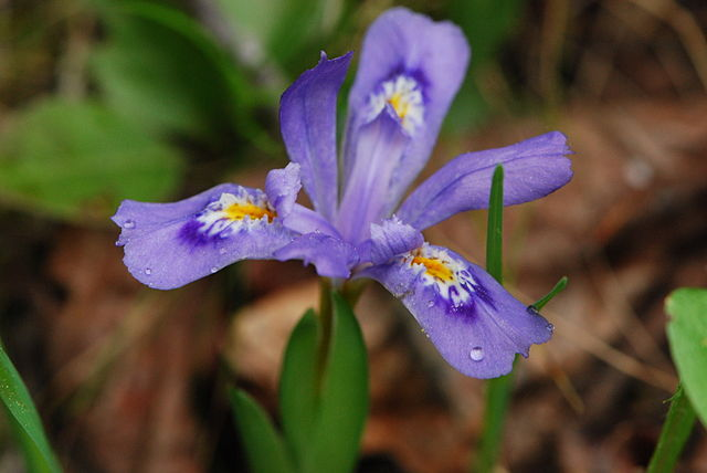 The Dwarf Lake Iris, Iris lacustris