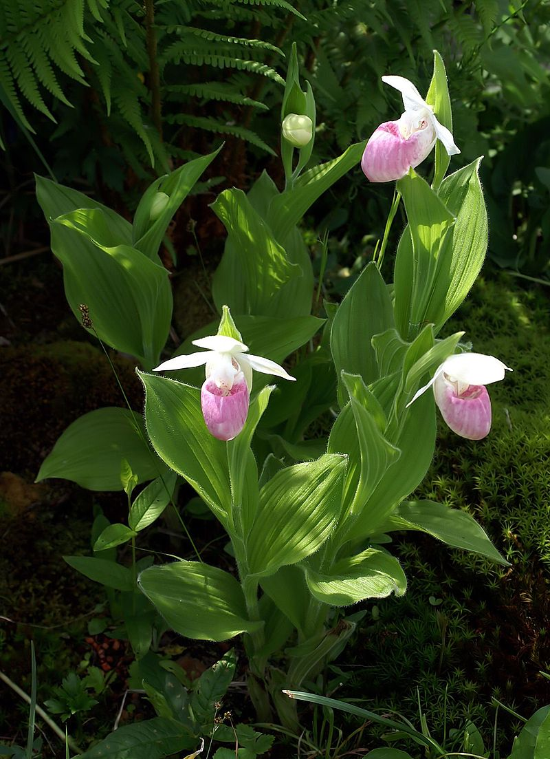 A pink and white Lady's Slipper, Cypripedium reginae