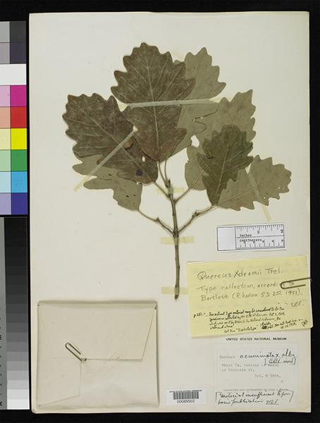 Deam Oak, Quercus Deamii, Indiana, native hybrid