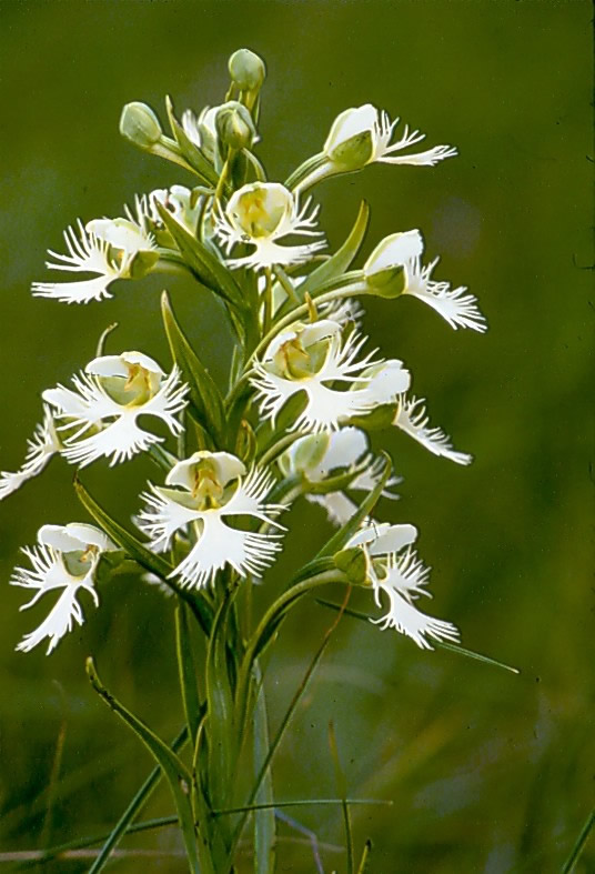 The Western prairie fringed orchid, Platanthera praeclara