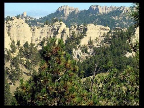 Ponderosa pine or Yellow pine, Pinus ponderosa in Nebraska