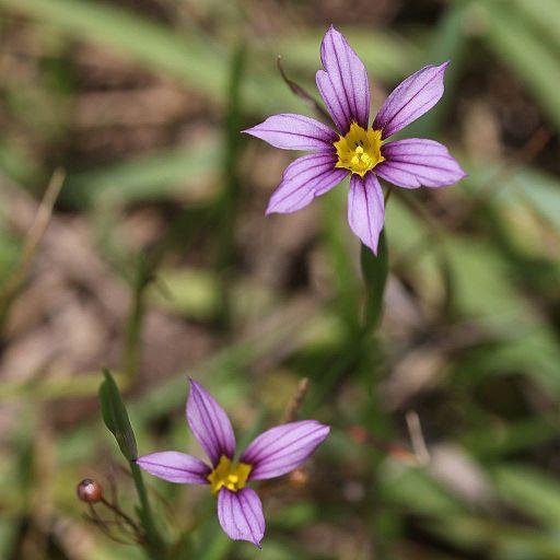 the Annual blue-eyed grass, Sisyrinchium rosulatum
