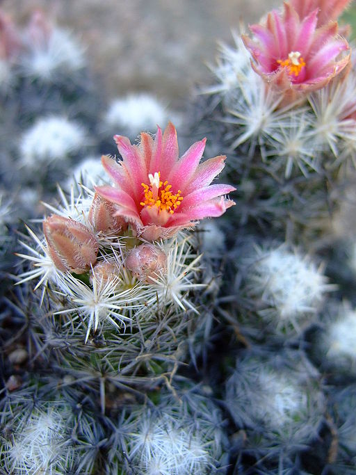 The Pincushion Cactus, Escobaria sneedii