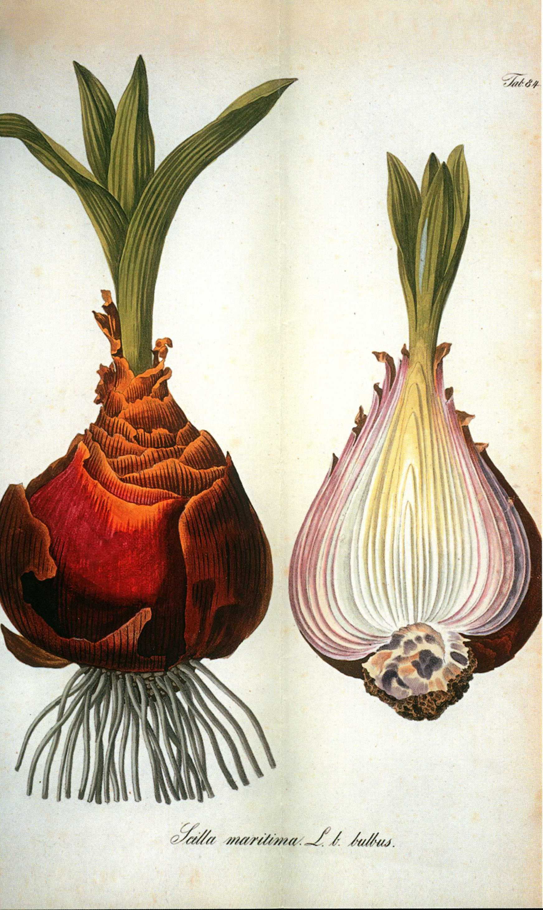 Scilla maritima bulb and cutaway view showing bulb interior
