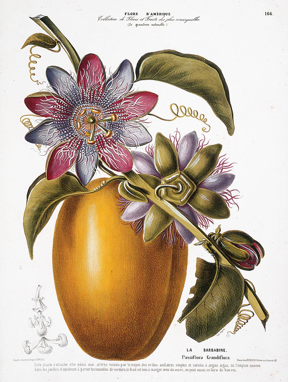 Flore D'Amerique: La Barbadine Passiflora grandiflora