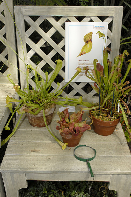 Potted pitcher plants