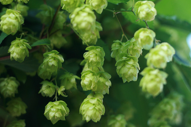 Hops (Humulus lupulus), photo courtesy of Flickr cc/paulmiller