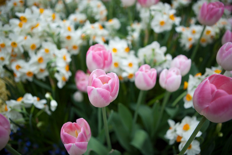 Pink tulips and yellow and white daffodils