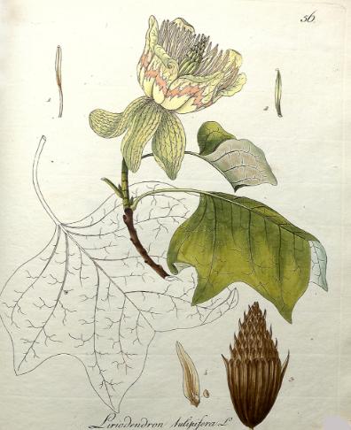 Botanical print Liriodendron tulipifera