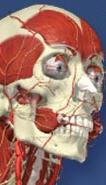 Primal Pictures (interactive anatomy program)