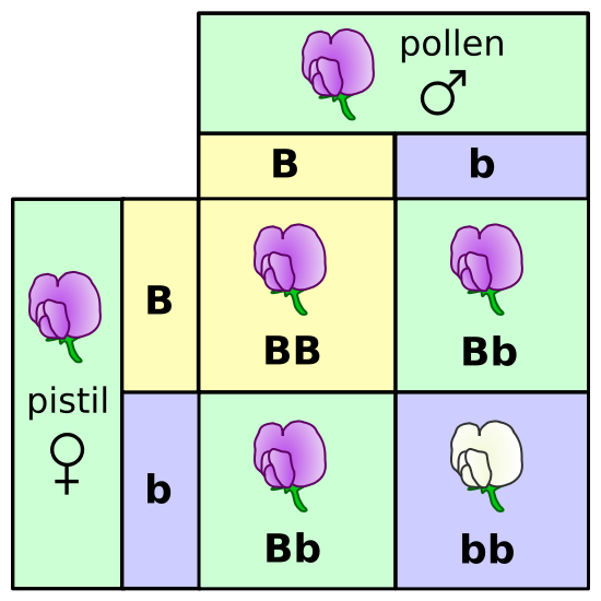 Picture of a 2 by 2 table of heredity of pea flowers. Big B and Little b.