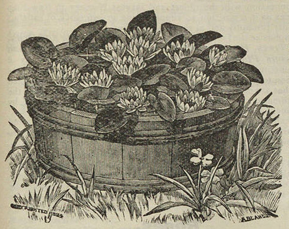 Water lilies, Breck's catalog, 1908
