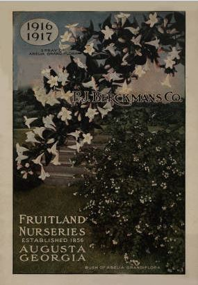 Spray and bush of Abelia grandiflora on 1916-1917 catalog