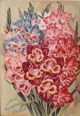 Gladiolus childsi, pink, red, blue and white flowers