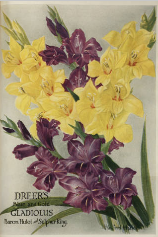 Dreer's Blue and Gold Gladiolus Baron Hulot and Sulphur King