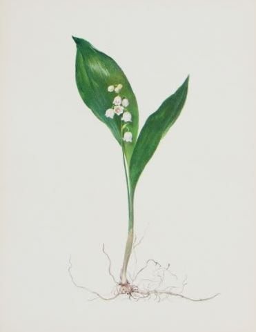 Parallel veined leaf with small bell-shaped white flowers