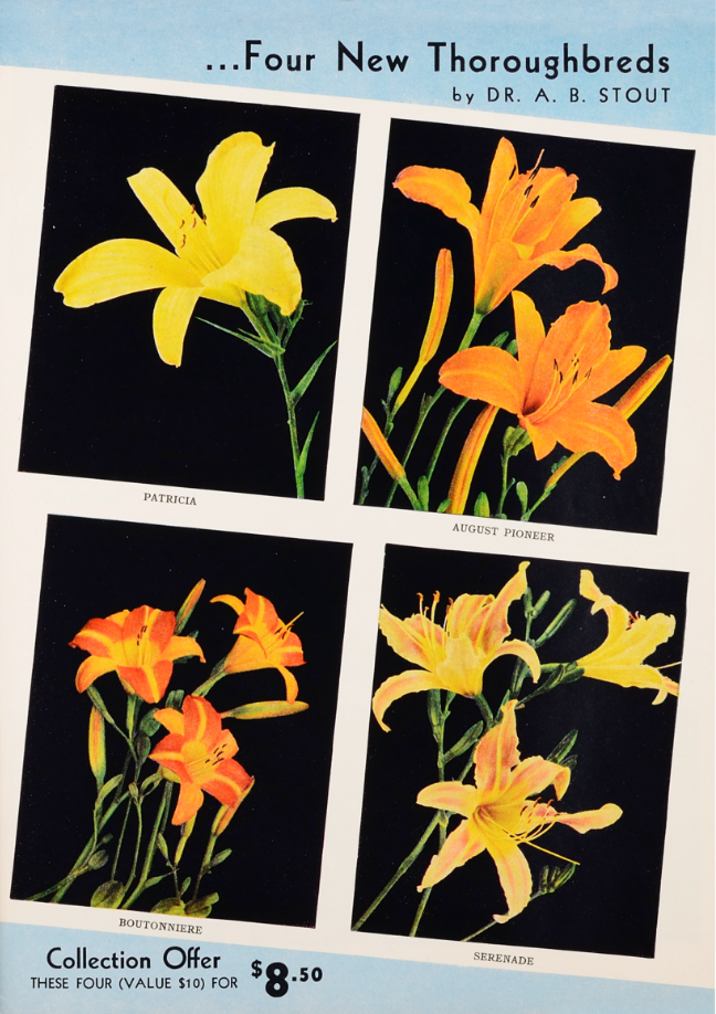 Four New Thoroughbred lily varieties by Dr. A.B. Stout