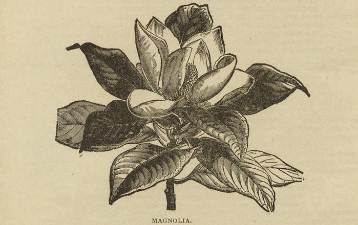 Magnolia, Breck's catalog, 1884