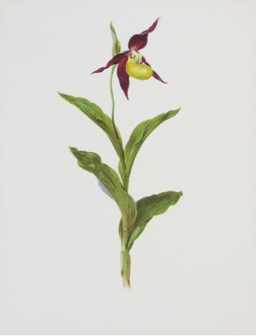 Single purple and yellow Lady's Slipper orchid