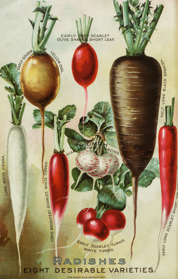 Radish varieties from D.M. Ferry and Company