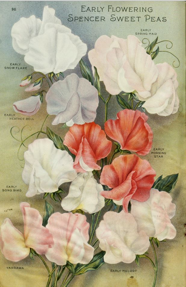 Early flowering Spencer sweet pea varieties in shades of white, pale pink and dark pink