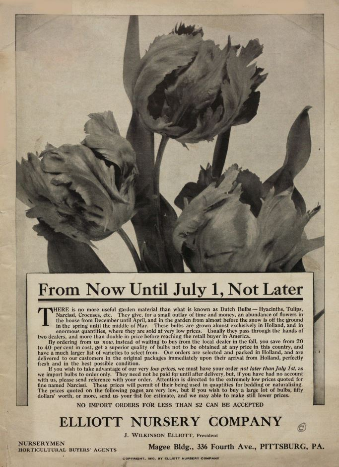 Tulips, From Now Until July 1, Not Later order Dutch bulbs