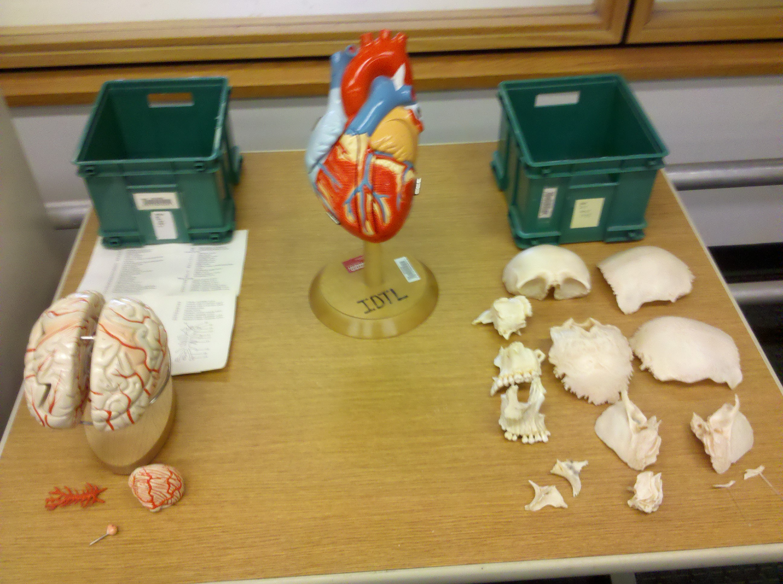 image of Brain, heart, and skull models
