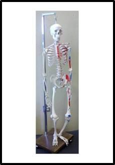 image of Human Skeleton [model] : medical grade