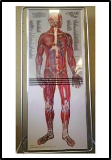 image of Life-sized layering anatomical charts
