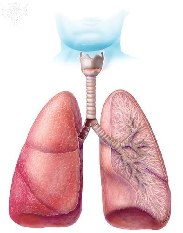 diagram of human lungs