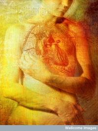 Position of the heart in the body - artwork