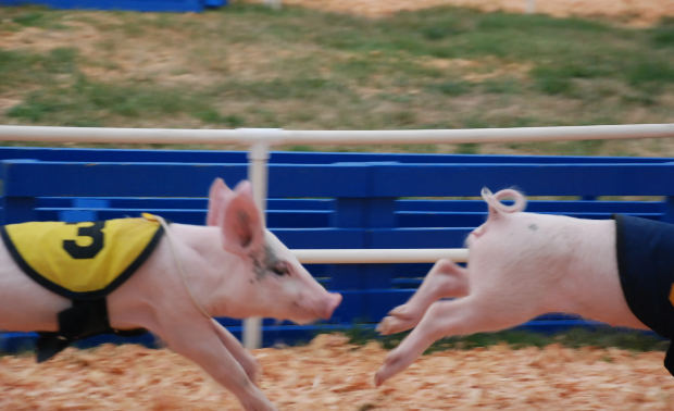 Photo of pigs racing