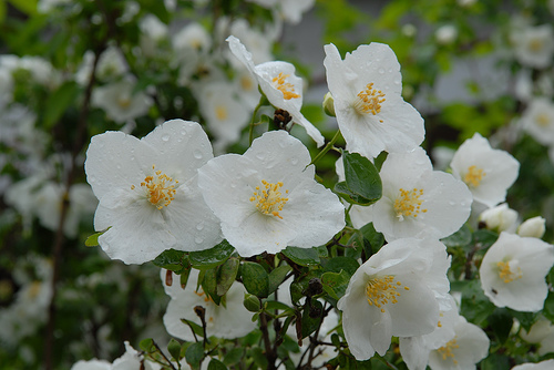 Philadelphus Lewisii, Northwest Native, Mock Orange